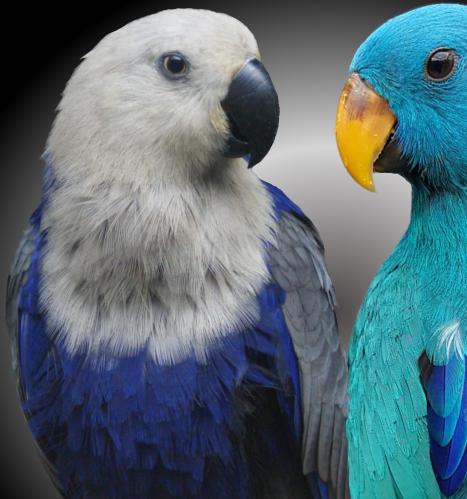 For Sale >> Blue eclectus parrots for sale